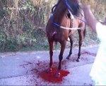 cavallo sventrato